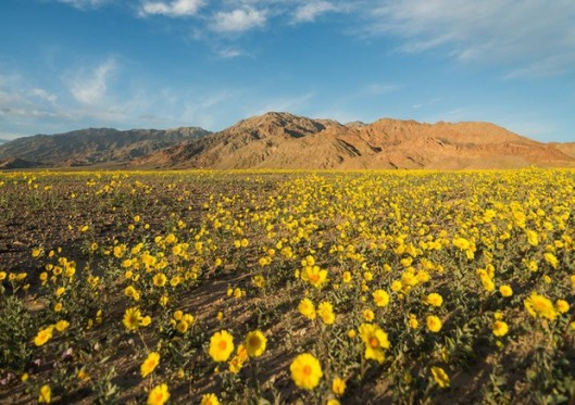 death valleyflower.jpg