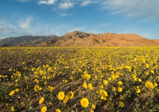 death valleyflower.jpg